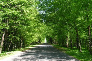 Hornbeam alley on the way to the village of Mogilno